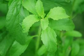 L'édulcorant naturel extrait de la plante de stévia, l'est-il réellement ?